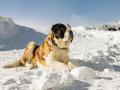 St. Bernard Dog Ready For Rescue Operation In Winter On The Mountain. Cute Big Saint Bernard Dog In