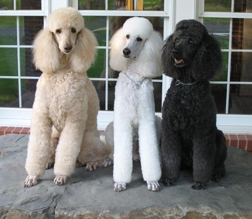 Giant Bull Mastiff Standard Poodle - All ...