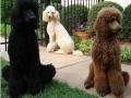 Standard Poodle 10