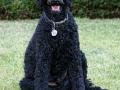 Standard Poodle 11