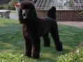 Standard Poodle 2