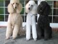 Standard Poodle 3