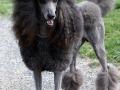 Standard Poodle 4