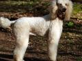 Standard Poodle 5