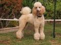 Standard Poodle 7