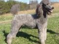 Standard Poodle 9