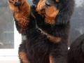 Tibetan Mastiff puppy 1