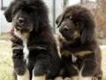 Tibetan Mastiff puppy 2