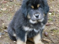 Tibetan Mastiff puppy 3