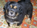 Tibetan Mastiff puppy 4