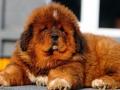 Tibetan Mastiff puppy 5