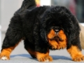 Tibetan Mastiff puppy 6