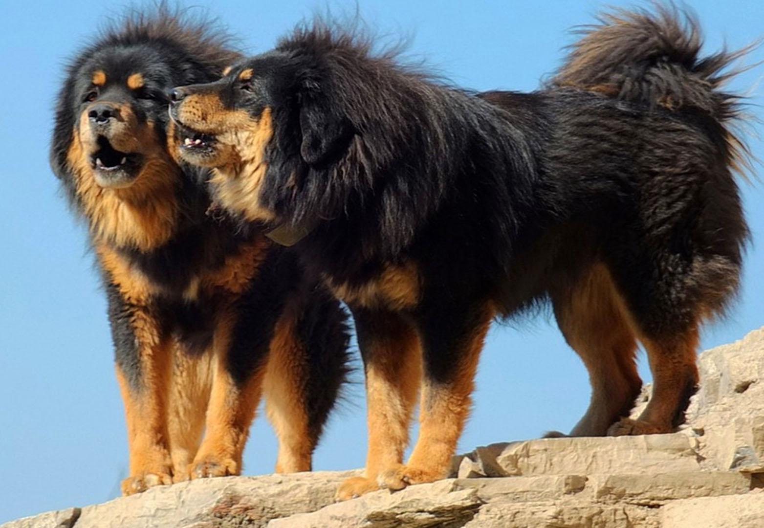 Big Spanish Dog