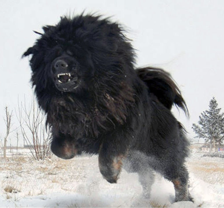 Tibetan Mastiff - All Big Dog Breeds