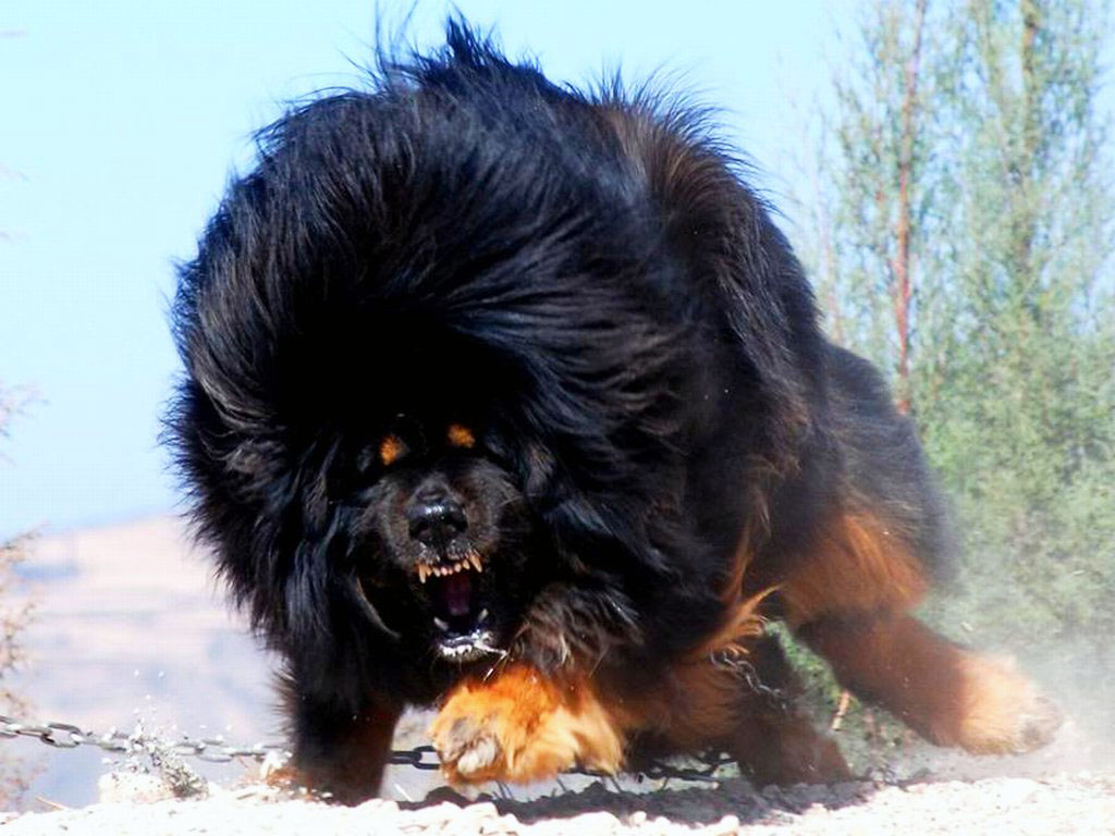 Tibetan Mastiff - big dogs - big dog breeds - types of big dogs ...