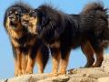 Tibetan Mastiff 4