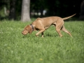 Hungarian Vizsla dog outside in the park.