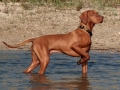 vizsla-dog-playing-in-water.jpg