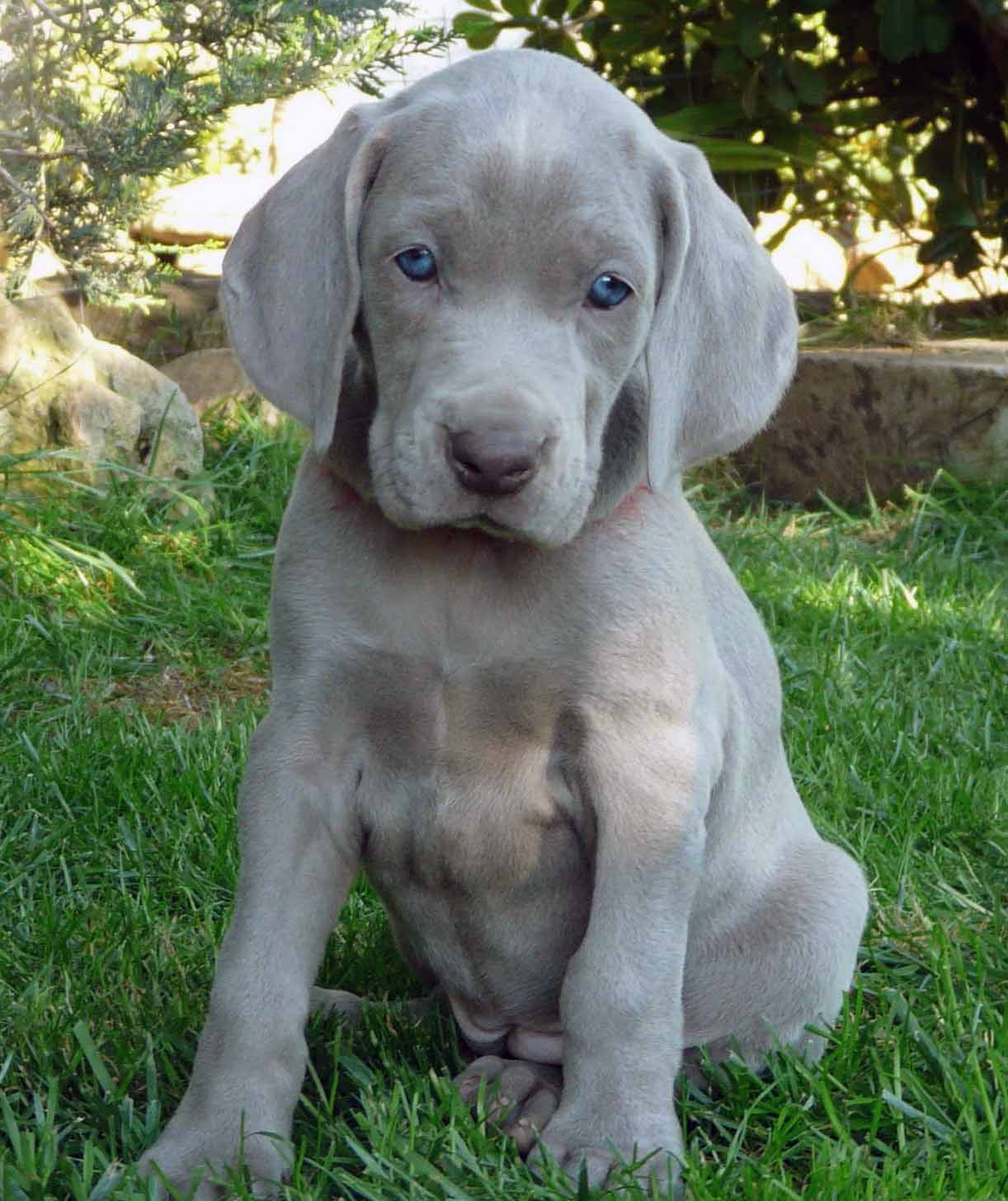 Weimaraner - All Big Dog Breeds