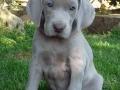 Weimaraner puppy 1