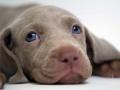 Weimaraner puppy 3