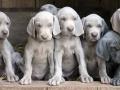 Weimaraner puppy 4