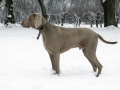 The Weimaraner Dog Standing In The Snow