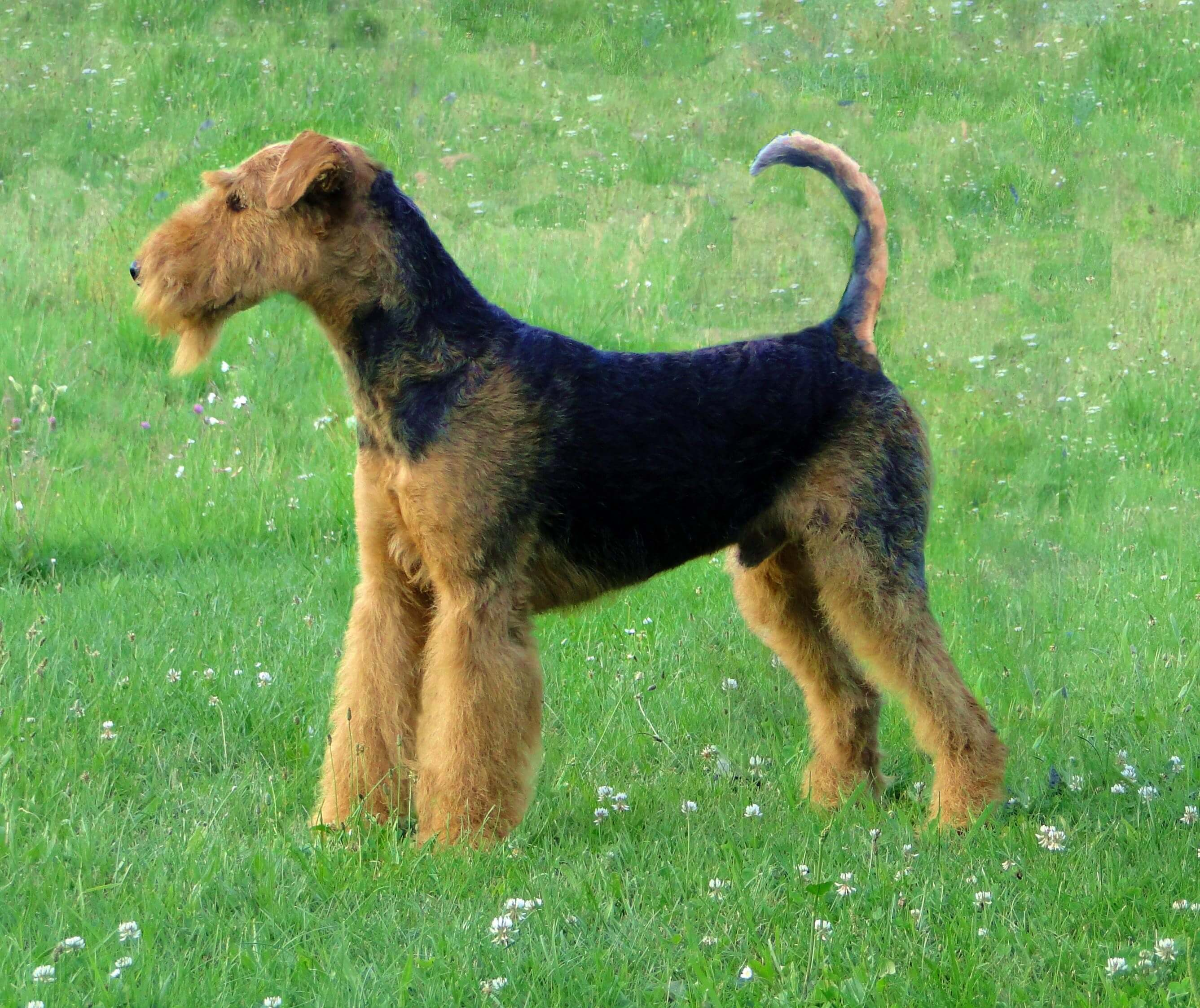 big terrier airedale terrier all big dog breeds 9207