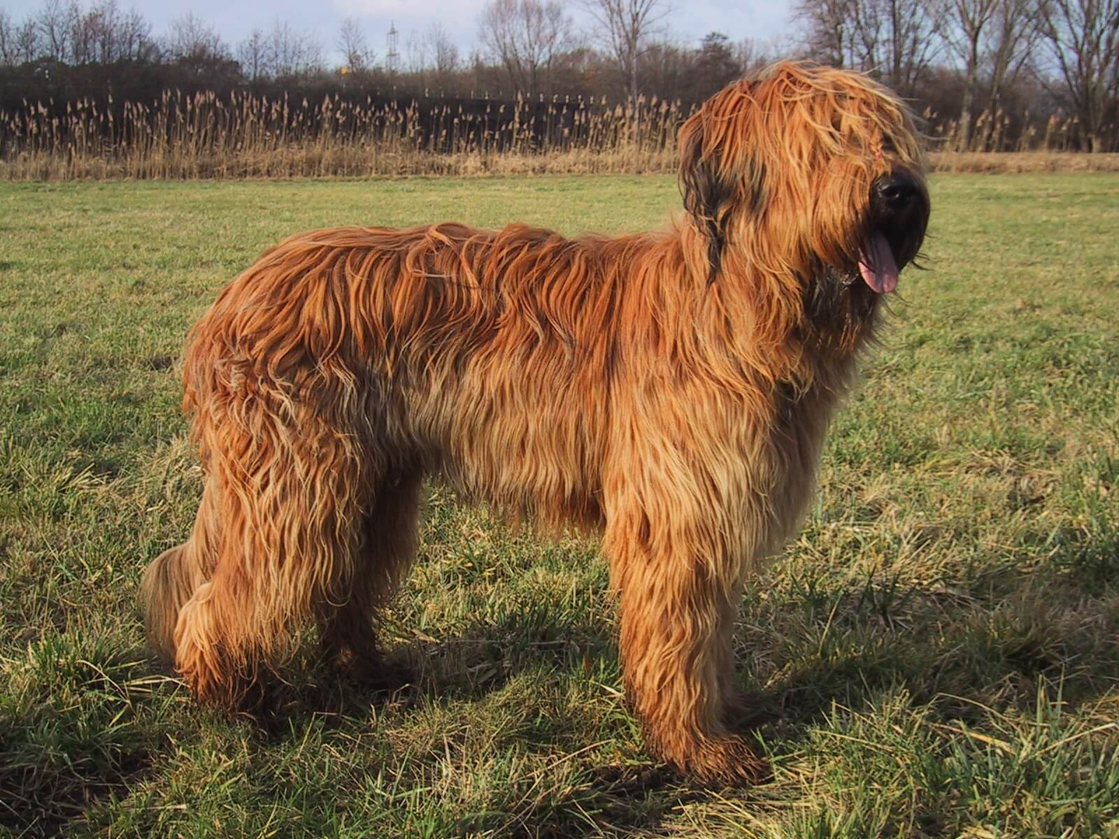 Briard All Big Dog Breeds