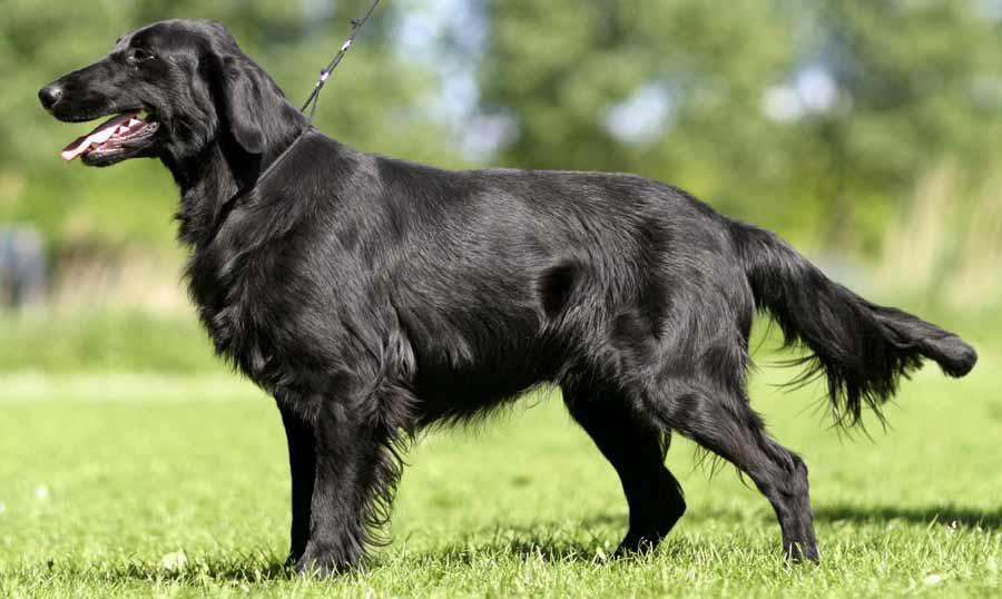 Large Black Dog Breeds Pictures