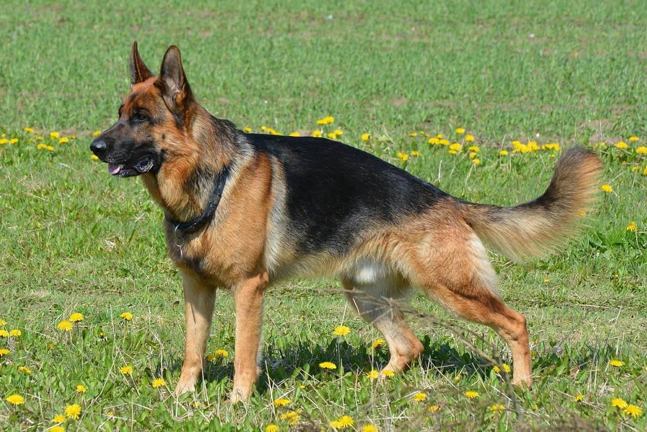Восточно-европейская овчарка, описание породы, стандарт 98