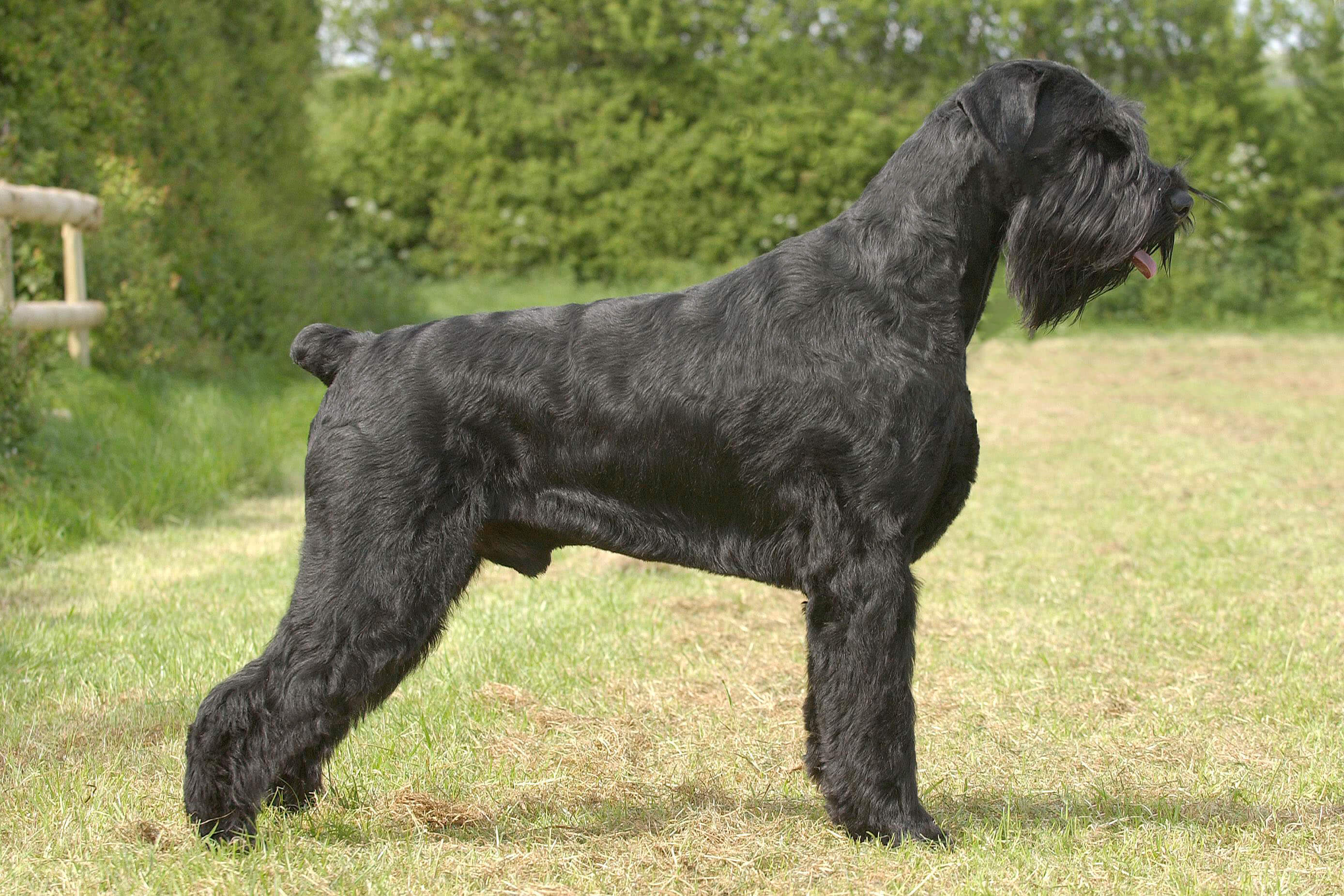 Giant Schnauzer All Big Dog Breeds