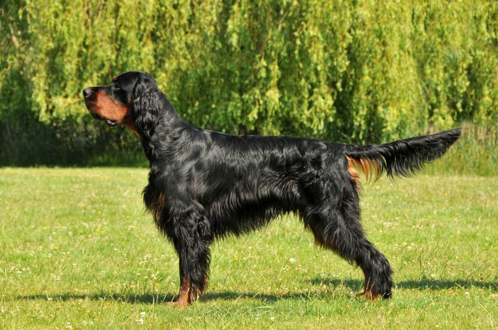 Gordon Setter  All Big Dog Breeds