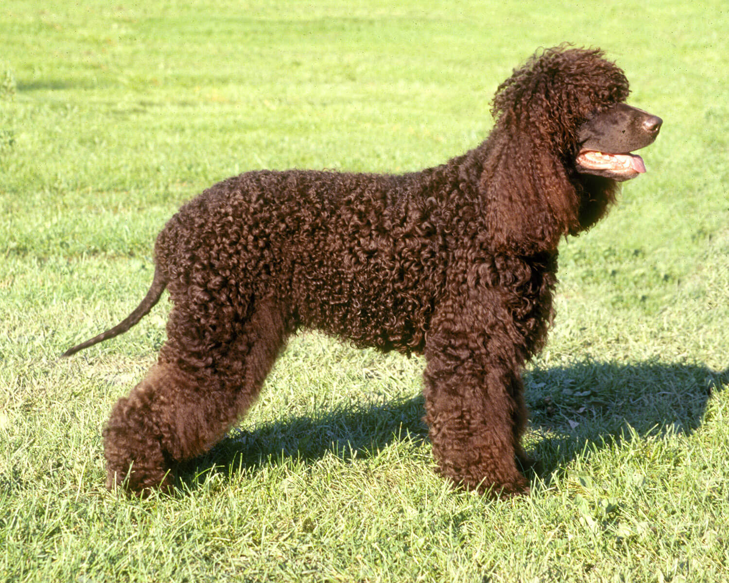 Irish Water Spaniel - All Big Dog Breeds