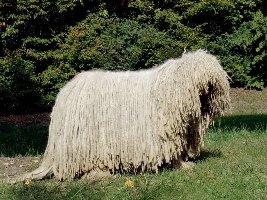 Komondor - All Big Dog Breeds | 1024 x 768 jpeg 165kB