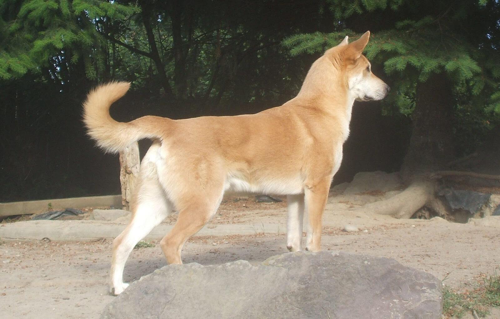 Chinook Dog - All Big Dog Breeds German Mastiff Breeds