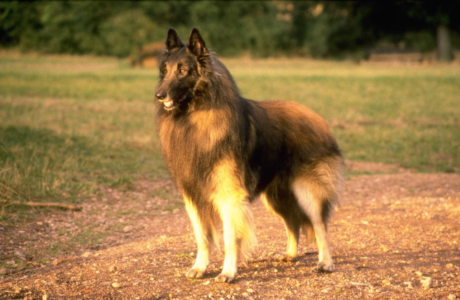 Belgian Tervuren All Big Dog Breeds