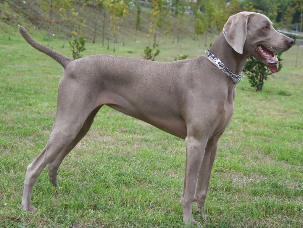 Weimaraner - All Big Dog Breeds American Black And Tan Coonhound Puppies