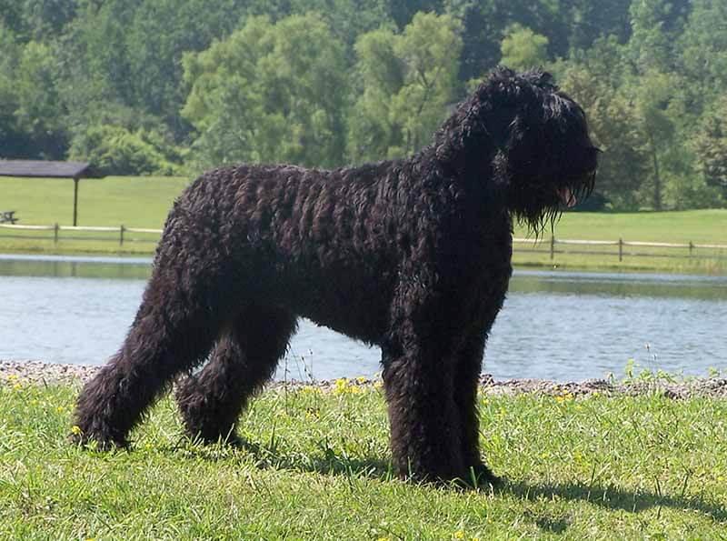 Black Russian Terrier All Big Dog Breeds