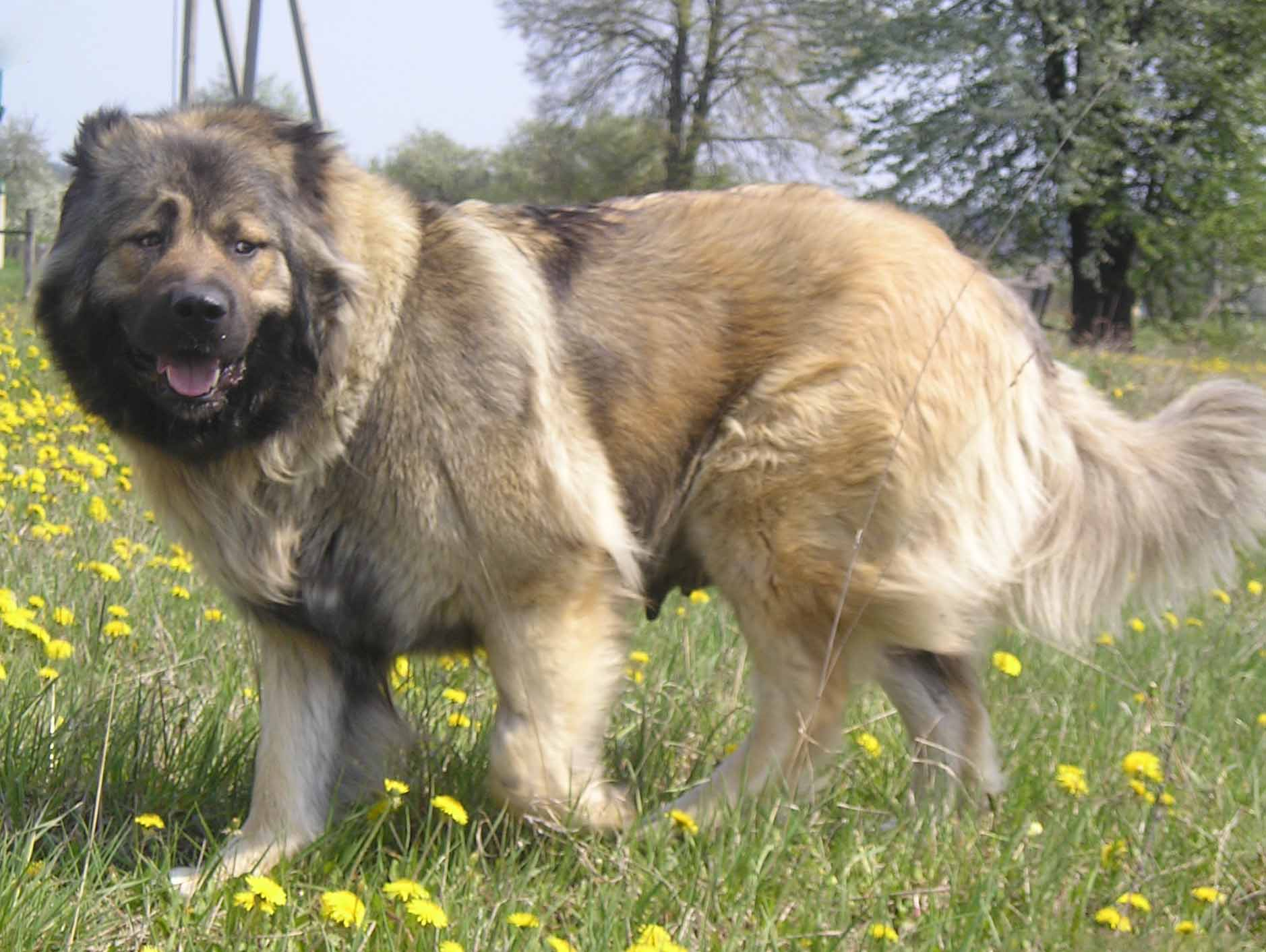 Caucasian Shepherd Dog Black