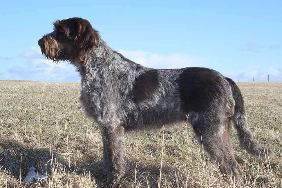 Italian Guard Dog Breeds