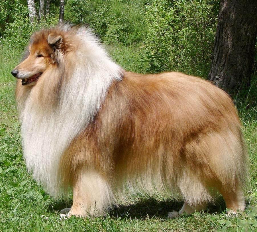 Collie - All Big Dog Breeds   902 x 814 jpeg 150kB